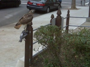 red tailed hawk and pigeon
