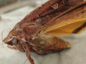 Mr Moth